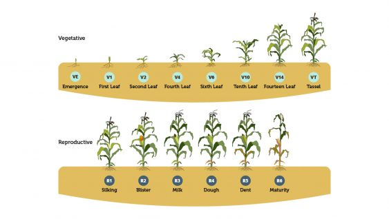 Tissue and Growth Model – Corn Nutrient Deficiencies