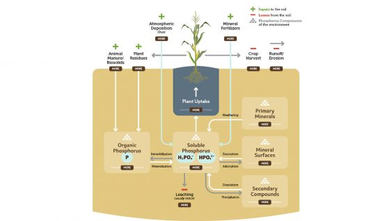 Phosphorus Transformation in Soils