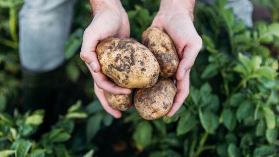 Farmer holds potatoes