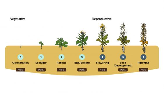 Canola Development and Growth Staging