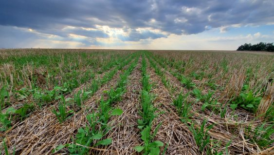 Cover crops in soybean field