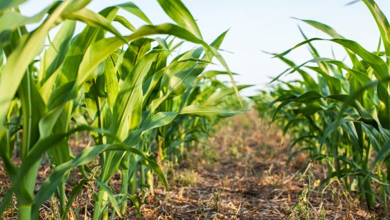 Sidedressing Potassium For Corn—Is It An Option?