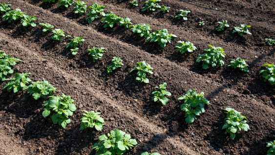 Rows of young potato plants on the field - selective focus, copy space, low angle view