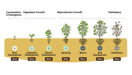 Cotton Development and Growth Staging Infographic