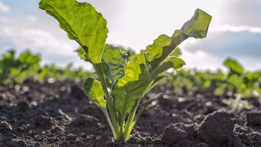Managing Nitrogen Inputs For Sugarbeets