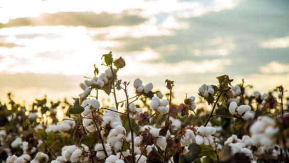 Field of cotton crop