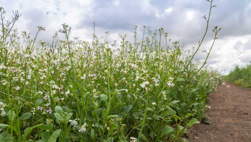 over crops oil radish (Raphanus seradella the var. plants) in white on a field