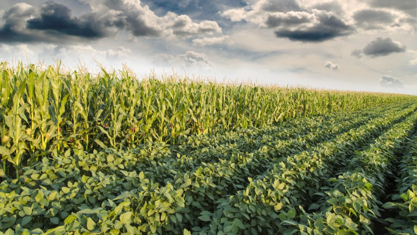 Corn and Soybean crops growing in a field