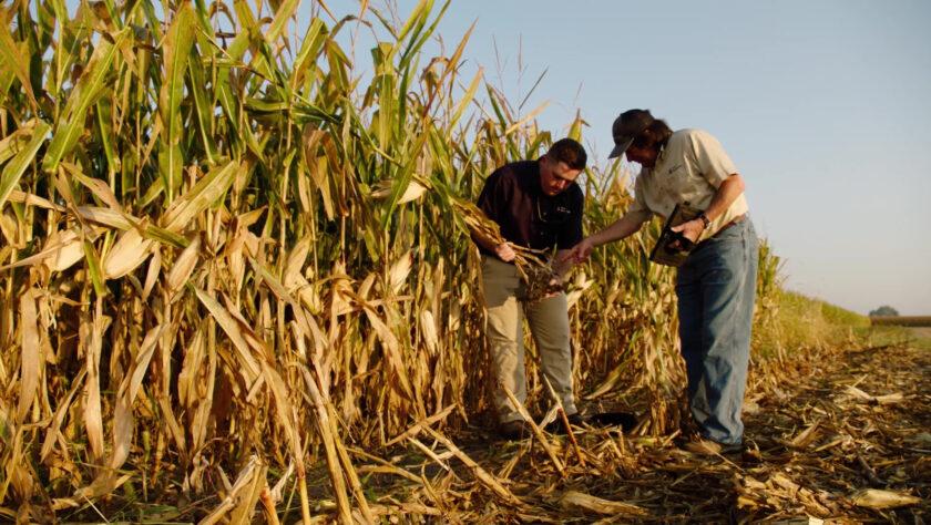 Banded Fertilizer in Corn Crops