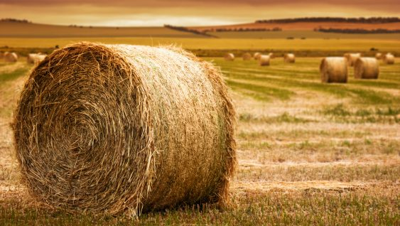 large bale of hay, closeup. more hay bales and evening farm landscape in background